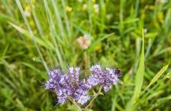 Lacy Phacelia floreciente violeta visitado por un abejorro Fotos de archivo libres de regalías