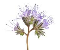 Lacy phacelia phacelia tanacetifolia. Lacy phacelia, blue tansy or purple tansy isolated on white background stock images