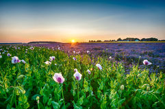 Lacy phacelia and poppy field. Field of blooming poppy and Lacy phacelia (Phacelia tanacetifolia) at sunset Royalty Free Stock Images