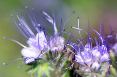 Lacy phacelia or purple tansy (phacelia tanacetifolia) flower head close up. Elegant purple flower - phacelia. Used in many places in agriculture as cover crop Stock Photo