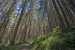 Ślad przez wysokich cedrowych drzew Fotografia Stock
