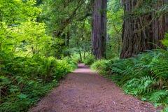 Ślad w Redwood stanu i obywatela parkach Obraz Royalty Free