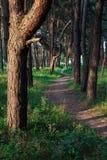 Ślad w sosnowym lesie Zdjęcia Royalty Free