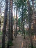 ?lad w sosnowym lesie zdjęcia royalty free