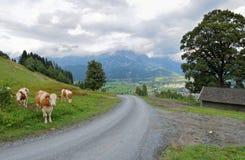 Ślad z krowami przy europejskimi alps saalfelden leogang Fotografia Royalty Free