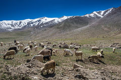 Ladakh liggande med sheeps Royaltyfri Fotografi