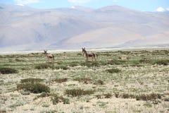 Ladakh Wildlife-1 Foto de archivo
