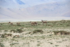 Ladakh  Wildlife. Stock Photo