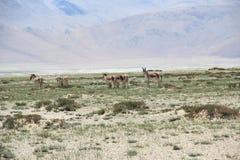 Ladakh Wildlife. Stock Photo
