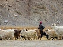 Ladakhi牧人和山羊 免版税库存图片