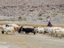 Ladakhi牧人和山羊 库存照片