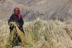 Ladakhi-Frauen, die in der Ernte arbeiten Stockbild
