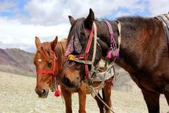 Ladakhi hästar Fotografering för Bildbyråer
