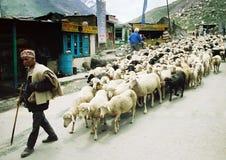 Ladakhi herde Royaltyfria Foton
