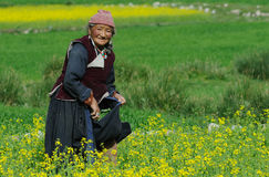 Ladakhi woman harvesting Stock Images