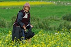 Ladakhi woman harvesting Stock Images