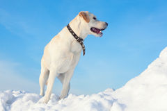 Ladbador dog on the snow Royalty Free Stock Photo