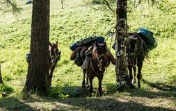 Laddade hästar vilar efter en svår övergång arkivbilder
