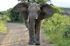 laddande elefant Royaltyfria Bilder