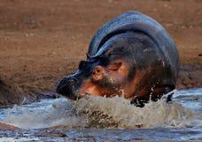 laddande flodhäst arkivfoto