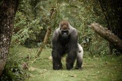 laddande gorilla för kamera Royaltyfri Bild