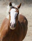 laddande häst Royaltyfri Foto