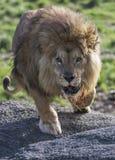 Laddande lejon Arkivfoton