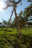 Ladder in the apple orchard Royalty Free Stock Photos