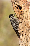 Ladder Backed Woodpecker Stock Images