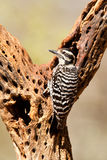 Ladder Backed Woodpecker Royalty Free Stock Images
