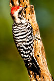 Ladder Backed Woodpecker. Full Back Profile of Ladder Backed Woodpecker on Old Cholla Cactus Trunk stock photos