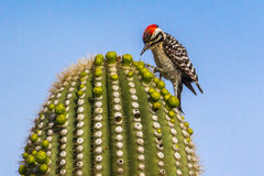 Ladder-Backed Woodpecker. Adult Male Ladder-Backer Woodpecker Foraging on Top of Saguaro Cactus, Saguaro National Park, Tucson, Arizona royalty free stock photography