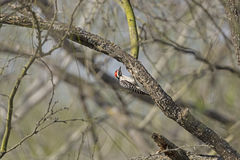 Ladder Backed Woodpecker in the Forest Royalty Free Stock Photography