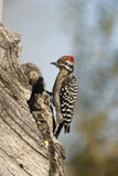 Ladder-backed woodpecker, Picoides scalaris Stock Photography
