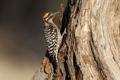 Ladder-backed woodpecker, Picoides scalaris Stock Image
