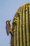 Ladder-Backed Woodpecker. Vertical Compositions of Adult Male Ladder-Backer Woodpecker Foraging on Top of Saguaro Cactus, Saguaro National Park, Tucson, Arizona royalty free stock photo