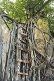 Ladder on Banyan tree. Royalty Free Stock Images