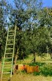 Ladder bij olijfboom Stock Afbeeldingen