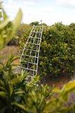Ladder in boomgaard stock afbeeldingen