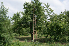 Ladder on cherry tree Stock Images