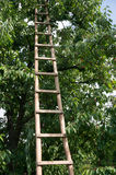 Ladder on cherry tree Stock Image
