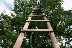 Ladder on cherry tree Stock Photo