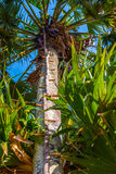Ladder fixed on a palmyra palm tree stock images