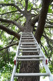 Ladder going up to a tree Royalty Free Stock Photo