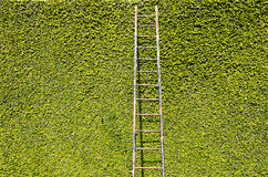 Ladder on Green Wall. Ladder on a wall full of green leaves Stock Photo