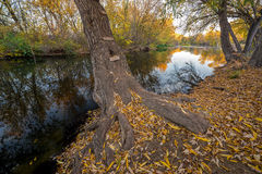 Ladder leads up the trunk of an autumn tree on river Royalty Free Stock Images