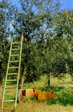 Ladder at olive tree Stock Images