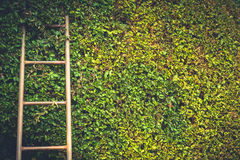 Ladder on plant. Ladder on trimmed tree wall Royalty Free Stock Image
