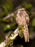 Ladder-tailed Nightjar. When the darkness allows, the Ladder-tailed Nightjar (Hydropsalis climacocerca) begins it's activity in the dense peruvian amazon Stock Photos