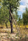 A ladder on a tree. A ladder on an old tree Stock Photos